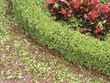What Does Yellowing on Boxwood Bushes Indicate?