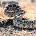Rattle Snake Round Up Festivals in Texas