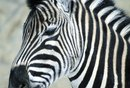 How to Paint a Dresser With Faux Zebra