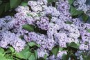 Can I Cut Off Old Lilac Blooms From Last Year in Spring?