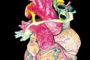 Internal Structure of the Heart