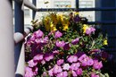 How to Revive Petunias