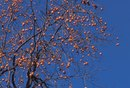 How to Shape a Persimmon Tree