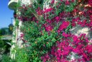 Bougainvillea Growth Habits