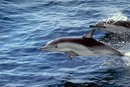 How Does Pollution Affect Dolphins?