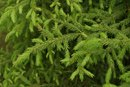 Landscaping Ideas for Where Spruce Needles Fall