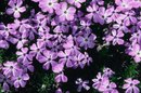 Can Creeping Phlox Be Planted in Containers?