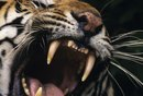 """What Imagery in """"The Tyger"""" Says the Creator Could Be Demonic?"""