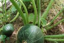 Watermelon Weed Control