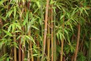 The Best Way to Kill a Bamboo Plant