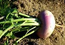 The Nutritional Value of Purple-Top Turnips