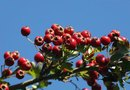 What Are the Health Benefits of Hawthorn Extract?