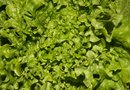 The Benefits of Escarole Lettuce
