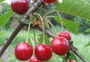 What Are the Benefits of Tart Cherry Juice Concentrate?