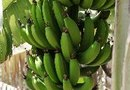 The Healthy Properties of Bananas