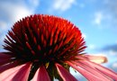 Benefits of Echinacea & Goldenseal