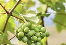 How to Grow White Seedless Grapes