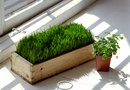 How to Grow Edible Wheatgrass in a Yard