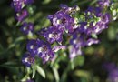 How to Grow Angelonia