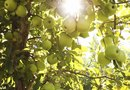 How Much Sun Do Fruit Trees Need?