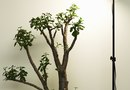 Temperature Conditions for an Indoor Money Tree