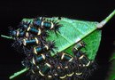 How Are Caterpillars Harmful to Plants?