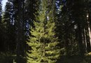 What Kind of Evergreen Trees Are Tall & Thin?
