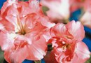 What to Pinch From Azaleas