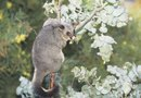 Do Possums Dig Up Lawns?
