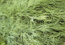 How to Grow Fernleaf Dill