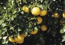 What to Do if a Grapefruit Tree Was Exposed to Freezing