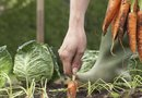 How to Prune Carrots