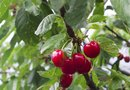 How Long Does It Take Cherry Trees to Produce?