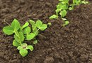 In What Ways Might Bacteria Contribute to the Success of a Garden in Which Pea Plants Are Growing?