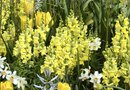 Can I Plant Winter Flowers Like Snapdragons & Pansies Over the Top of Bulbs?
