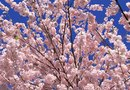 White or Pink Tree Flowers That Bloom in Spring