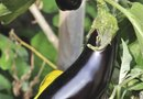 Are Eggplants a Vegetable or a Fruit?