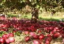 How Are Apple Tree Rootstocks Propagated?