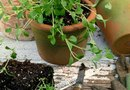 How to Grow Greek Oregano From Seeds