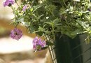 When Do I Cut off Dead Foliage From a Homestead Verbena?