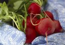 How to Make Radishes Grow Faster