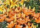 The Best Time to Divide Asiatic Lilies