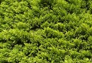 How to Prune a Sprawling Juniper Bush