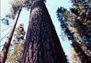 How to Plant a Giant Redwood Tree