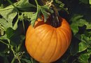 How Long Will Pumpkins Keep on the Vine After They Are Ripe?