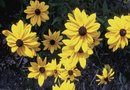 How to Grow Black-Eyed Susan in a Container