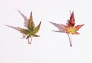 Japanese Maple Look-Alikes