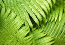 How Often Should You Add Miracle-Gro to Ferns?