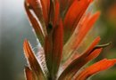 Life Stages of the Indian Paintbrush Plant