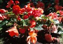 How to Replant Begonias